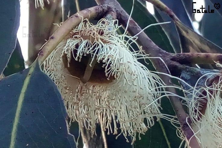 Flor arbol eucalipto