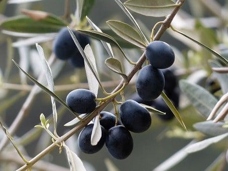 Aceituna negra en el arbol