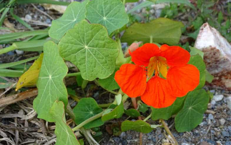 planta capuchina flor y hojas