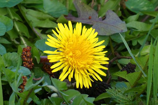 imagen flor taraxacum officinale