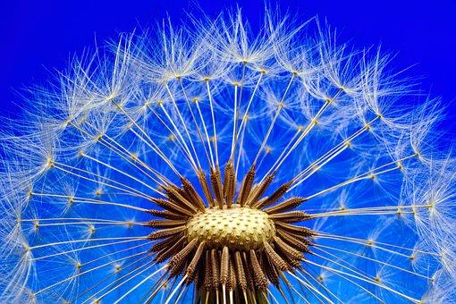 foto semillas amargon o taraxacum officinale