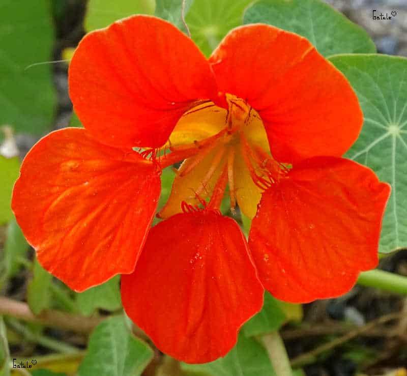 flor capuchina o tropaeolum majus