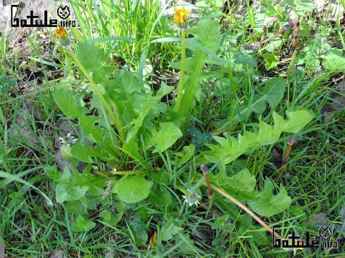 planta taraxacum officinale