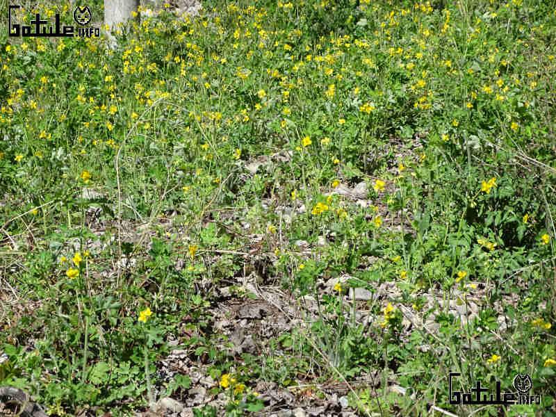 plantas chelidonium majus