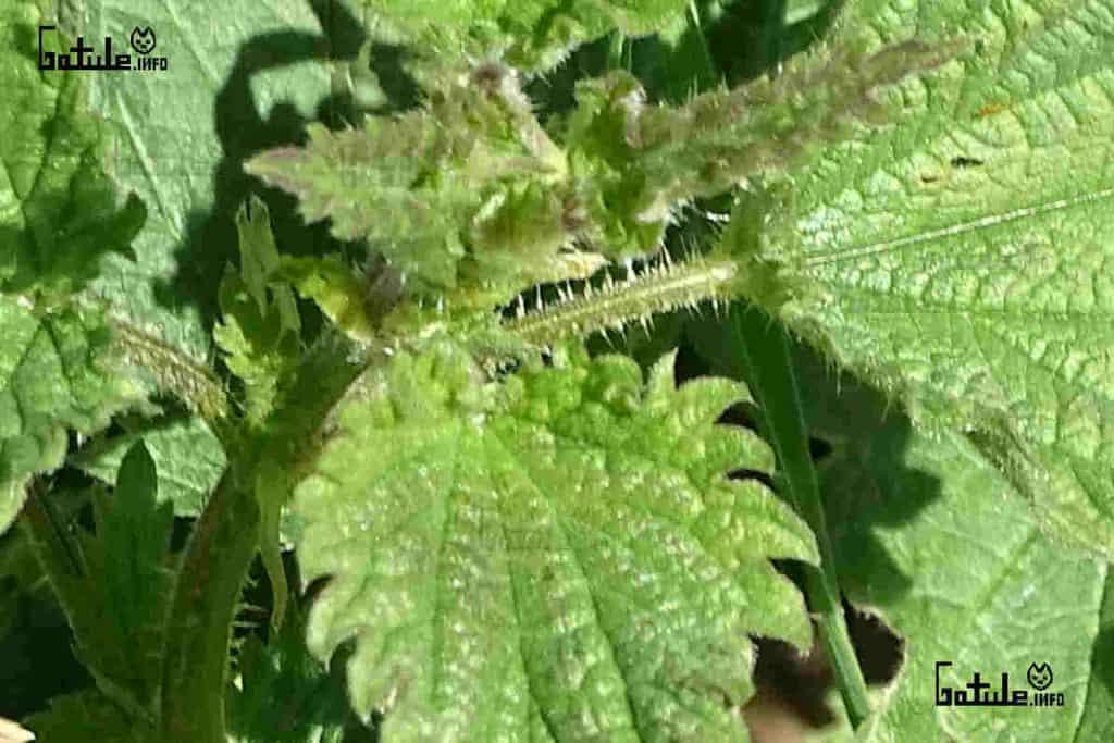 planta ortiga propiedades y beneficios