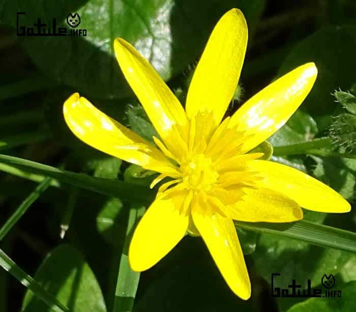 flor Ficaria verna