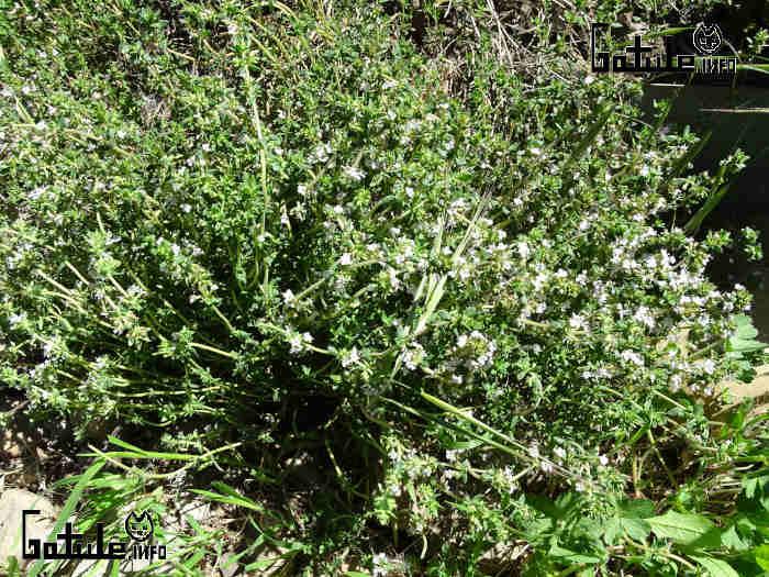 contraindicaciones y propiedades planta tomillo
