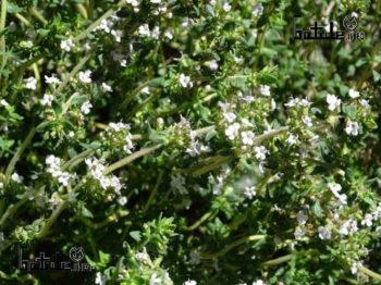 tomillo propiedades planta