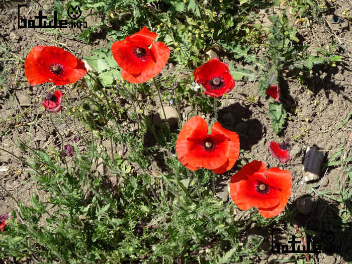 flores amapolas rojas
