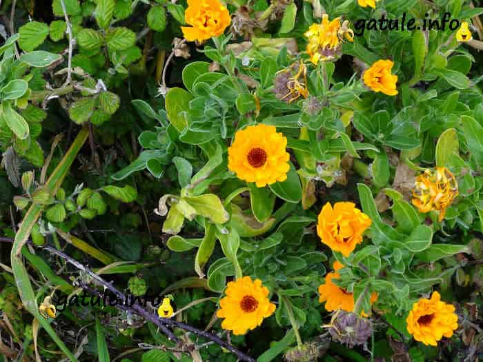 planta botón de oro