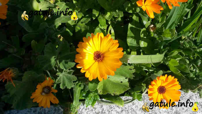Calendula officinalis flor
