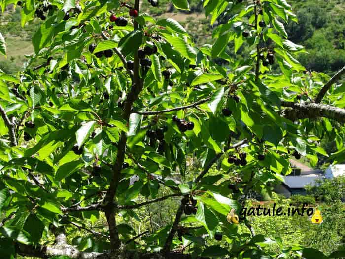 prunus avium árbol