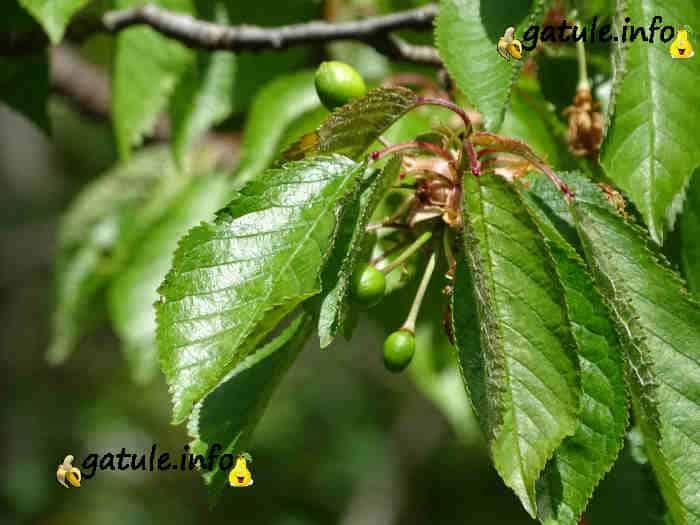 Frutos verdes Prunus avium