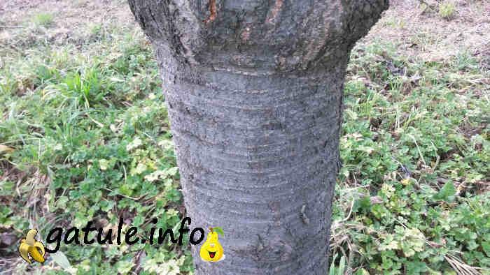 corteza Prunus avium