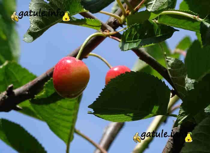 Prunus avium frutos