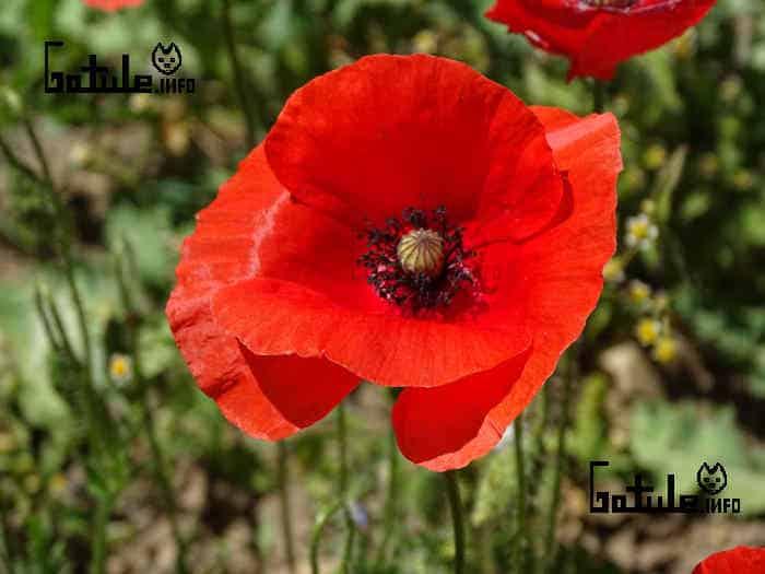 planta amapola roja