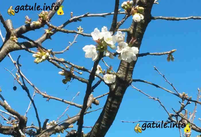 flor del árbol cerezo