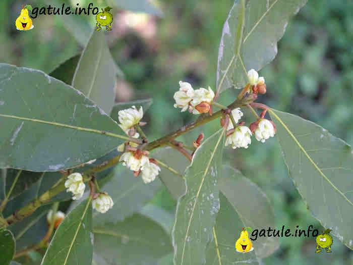 flor del laurel