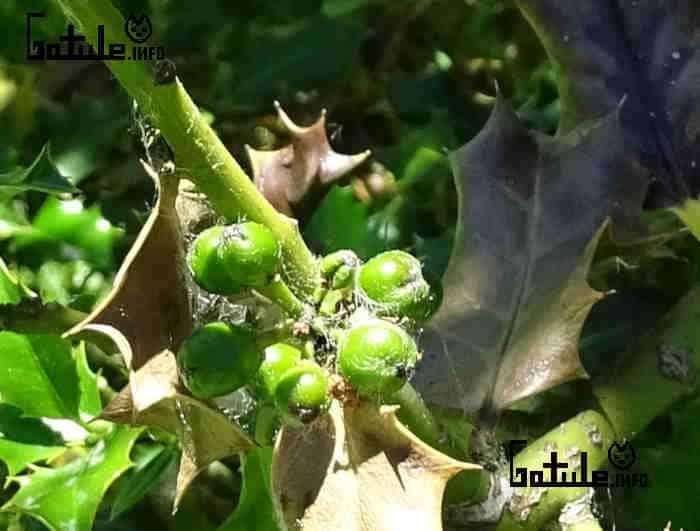 Ilex aquifolium fruto verde