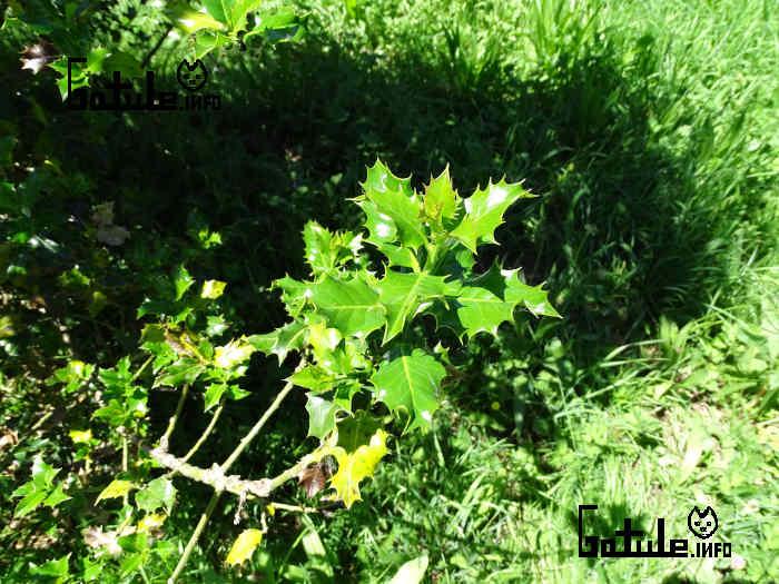 hojas acebo