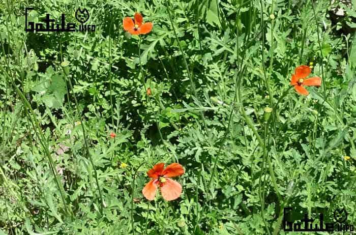 amapola roja planta
