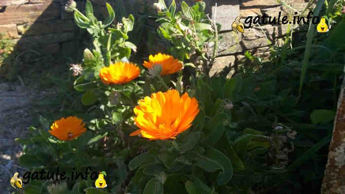 Planta calendula officinalis propiedades