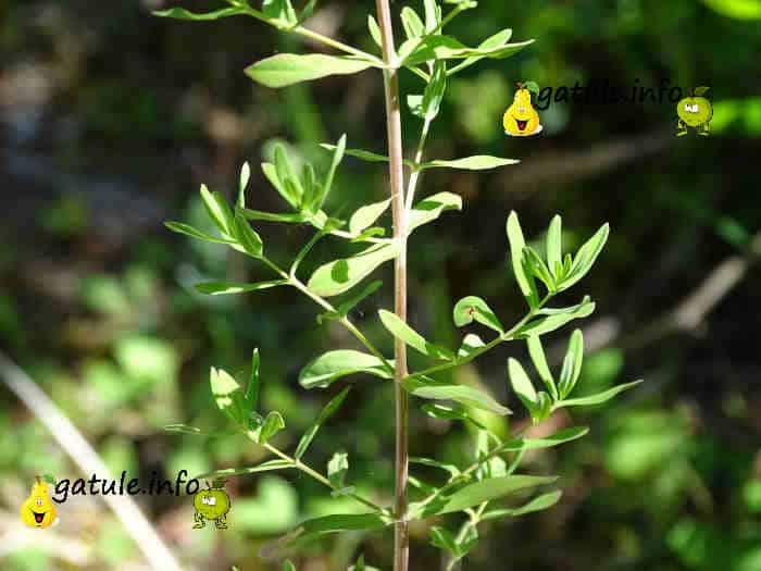 hipérico propiedades planta