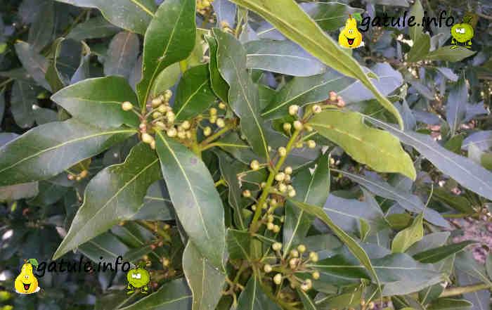 propiedades árbol laurel