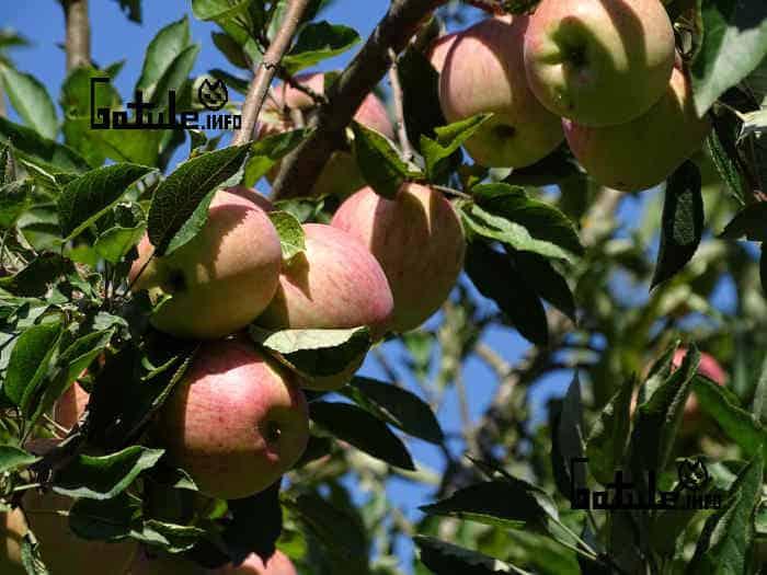 manzano arbol