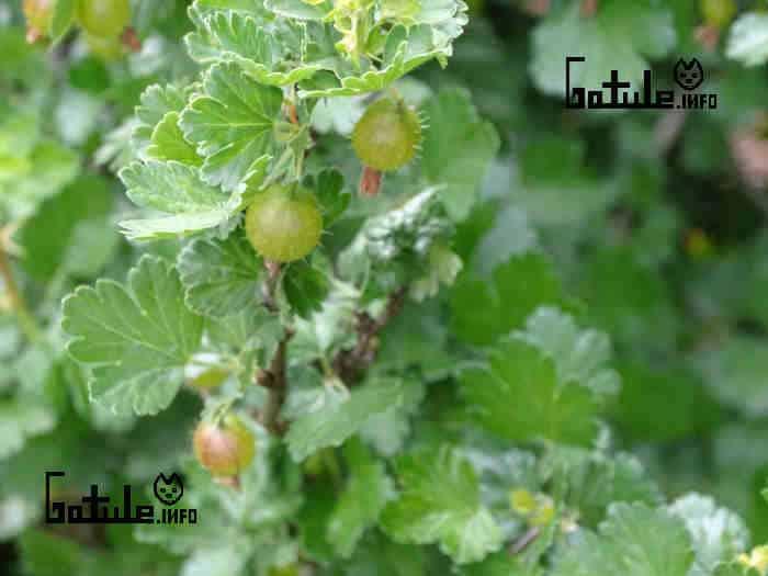 cuidados uva crespa