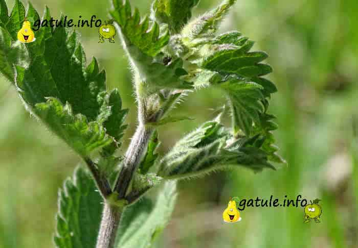 hojas urtica dioica