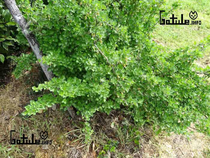 Planta grosellero espinoso