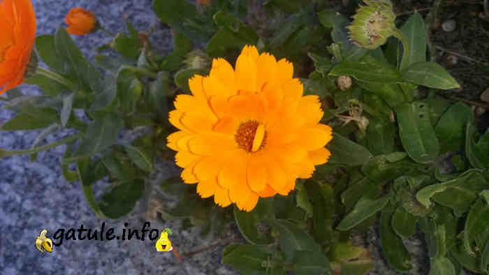 propiedades flor planta calendula