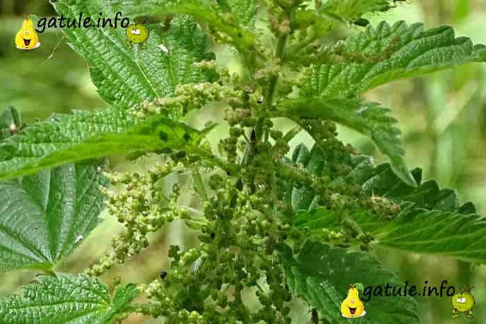 Urtica dioica flores