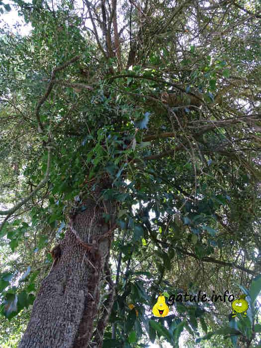 buxus sempervirens árbol