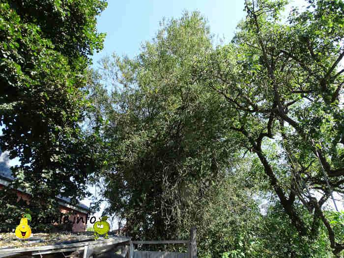 árbol boj