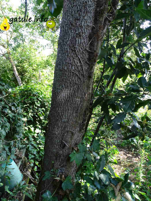 Beneficios árbol boj