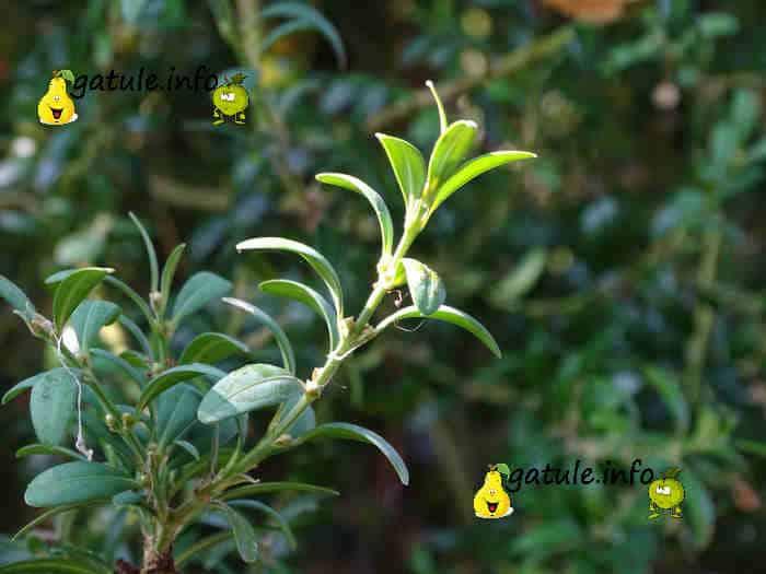 Buxus sempervirens usos