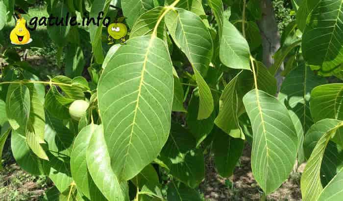 hojas nogal