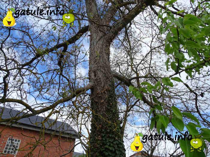 nogal árbol usos