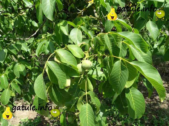 nuez fruto seco del juglans regia