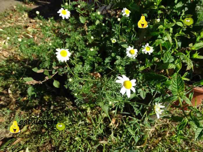 planta y flores chamaemelum nobile