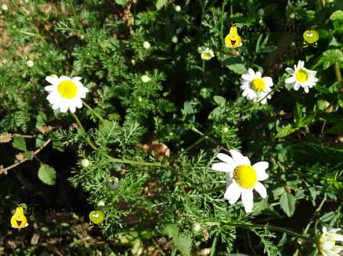 planta chamaemelum nobile
