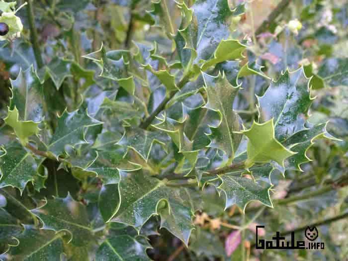 Ilex aquifolium propiedades