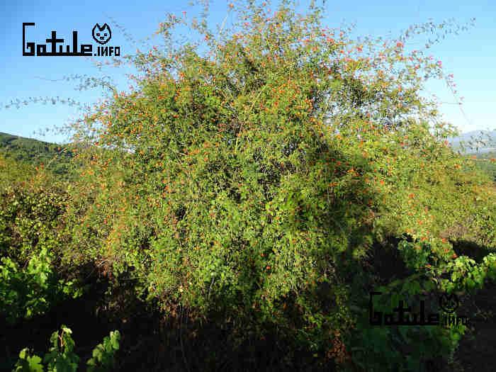 arbusto escaramujo