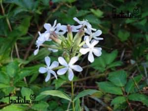 planta saponaria propiedades