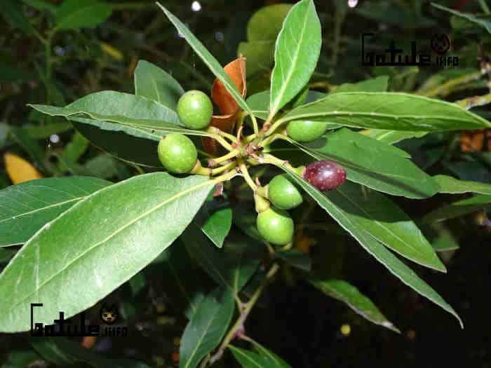 fruto del laurel