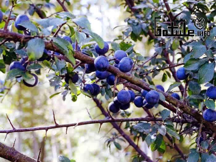 árbol prunus spinosa o endrino