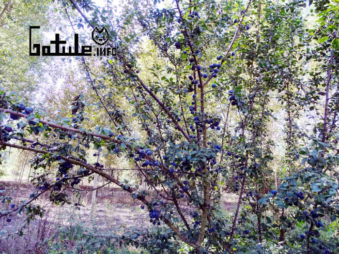 usos árbol endrino