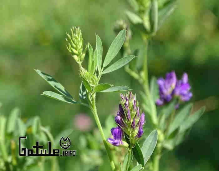 cualidades alfalfa